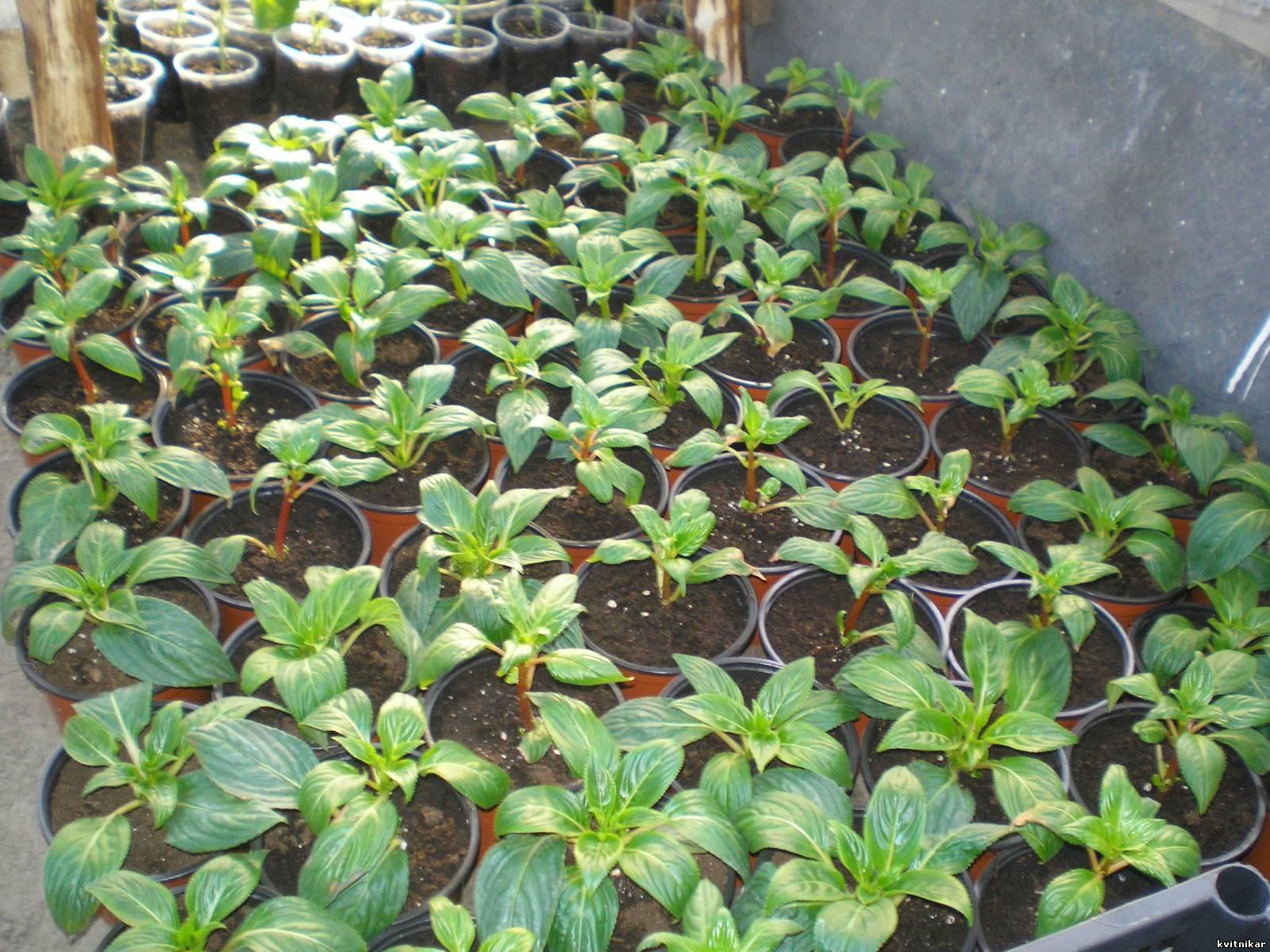 Сколько семечек бальзамина посадить на рассаду в один горшочек 34