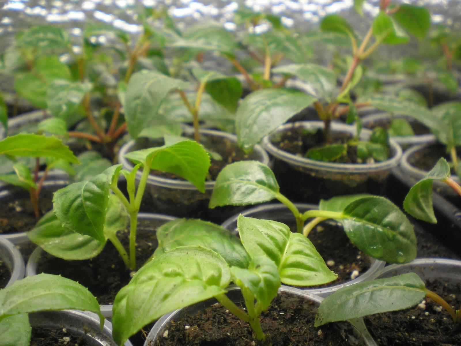 Фуксия выращивание из семян когда сажать 87