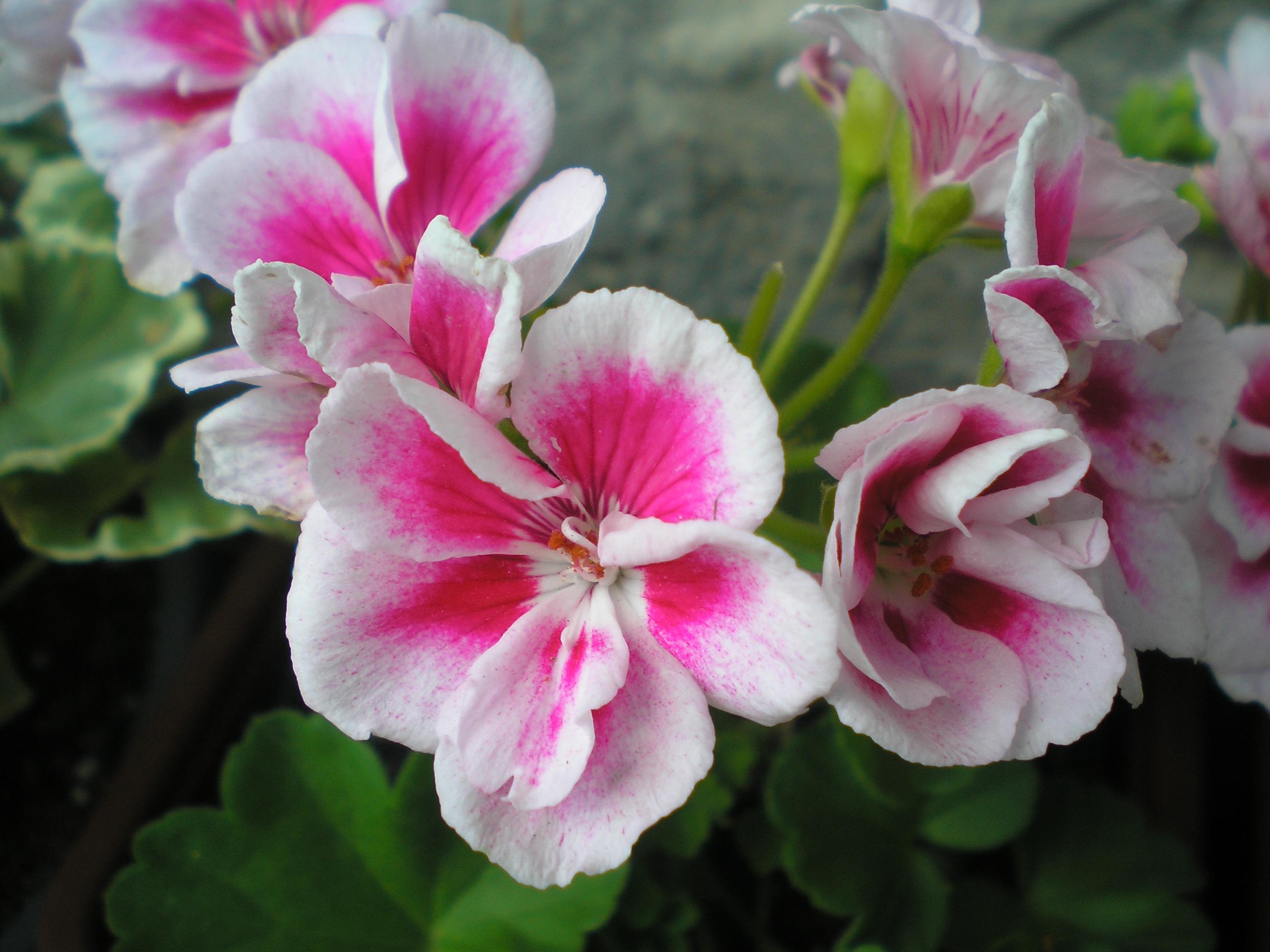 Комнатные цветы фото и пеларгония